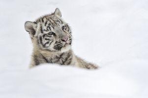 Фото бесплатно белый тигр, тигренок, смотрит в сторону