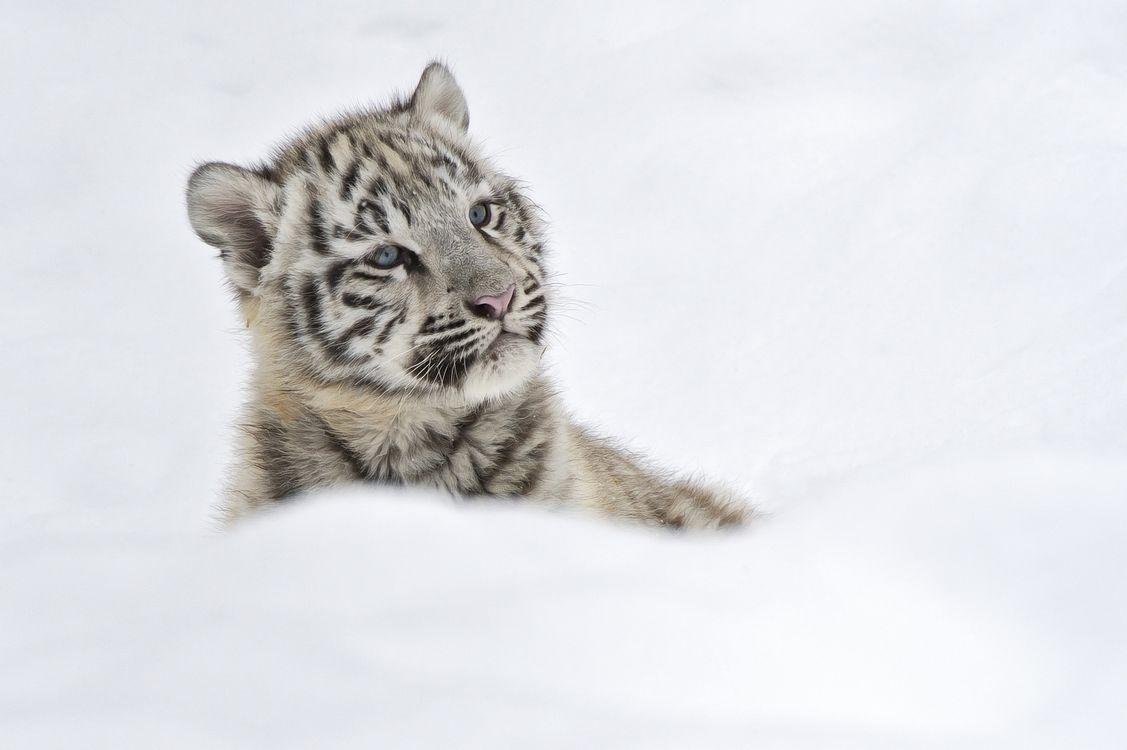 Фото бесплатно белый тигр, тигренок, смотрит в сторону - на рабочий стол
