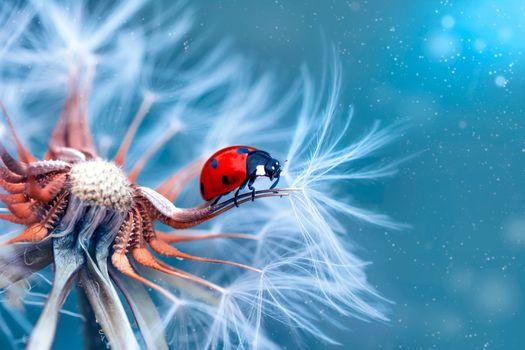 Photo free dandelion, fluff, ladybug