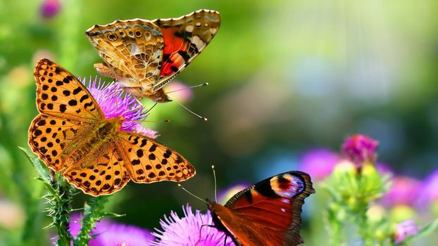 Three butterflies on a flower