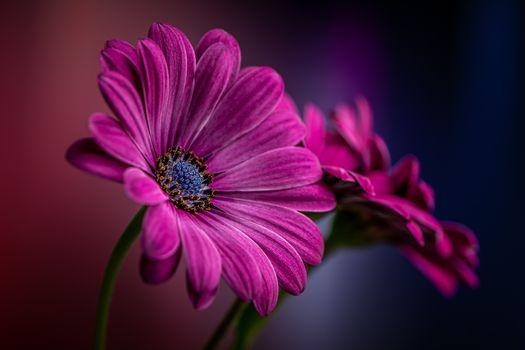 Фото бесплатно гербера, макро, флора