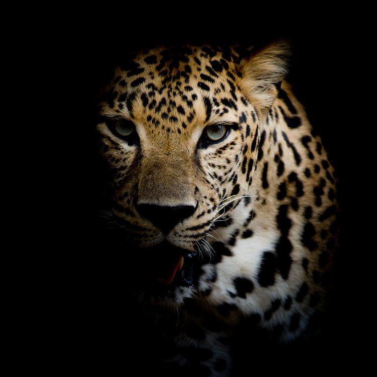Бесплатные портрет леопарда, леопард красивые обои на рабочий стол