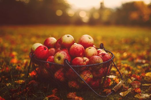Apples in autumn garden · free photo