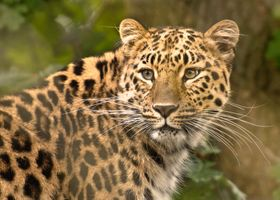 Леопард оглянулся