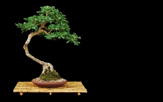 The bonsai on a black background