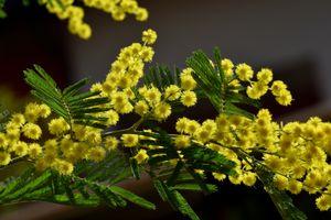 Бесплатные фото мимоза, желтая, цветы, ветка, флора