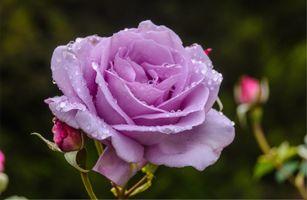 Фото бесплатно цветы, цветок, капли