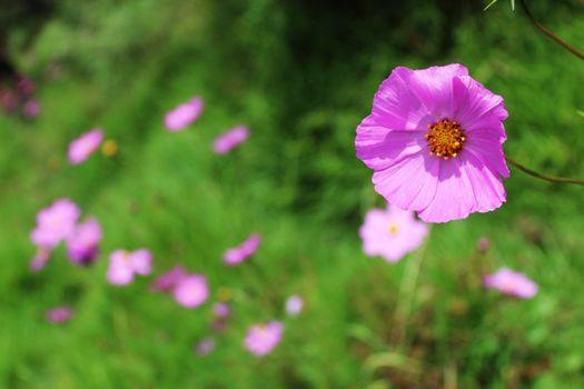 Бесплатные фото трава,растение,луг,космос,цветок,лепесток,весна,флора,дикий цветок,цветущее растение,маргаритка,травянистое растение