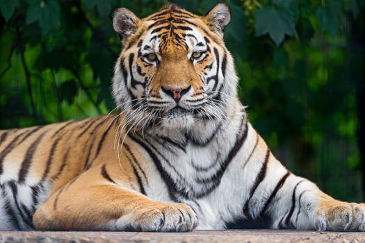 Фото бесплатно тигр тигры, взгляд, поза