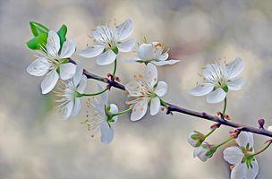 Art cherry sprig · free photo