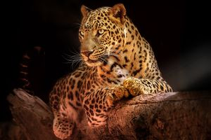 Отдыхающий леопард на дереве