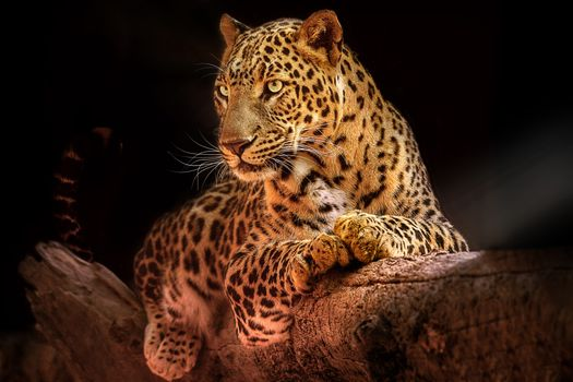 Resting leopard on tree · free photo