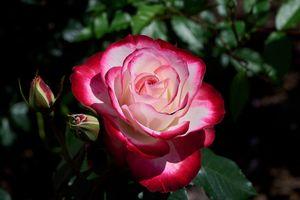 Заставки цветы, цветочная композиция, роза