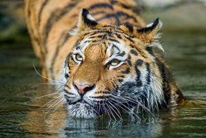 Фото бесплатно природа, тигровые тигры, дикая кошка