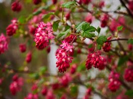 Photo free spring, bloom, flowering shrubs
