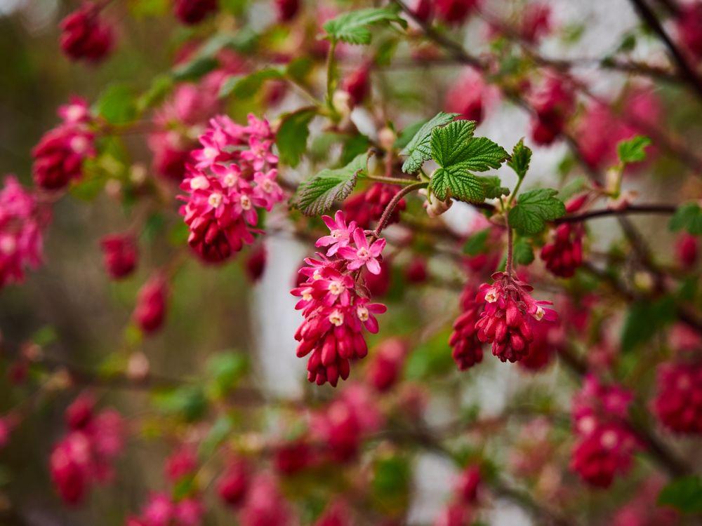Фото бесплатно весна, цветение, цветущий кустарник, малина, цветы, ветки, флора, цветы