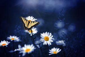 Бесплатные фото цветок,цветы,ромашки,бабочка,бабочка на цветке,флора,макро