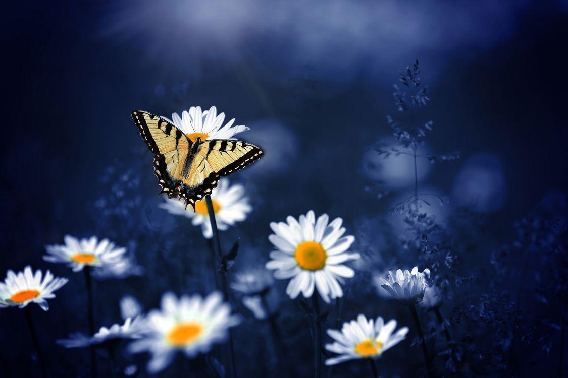 Фото бесплатно цветок, цветы, ромашки, бабочка, бабочка на цветке, флора, макро, цветы