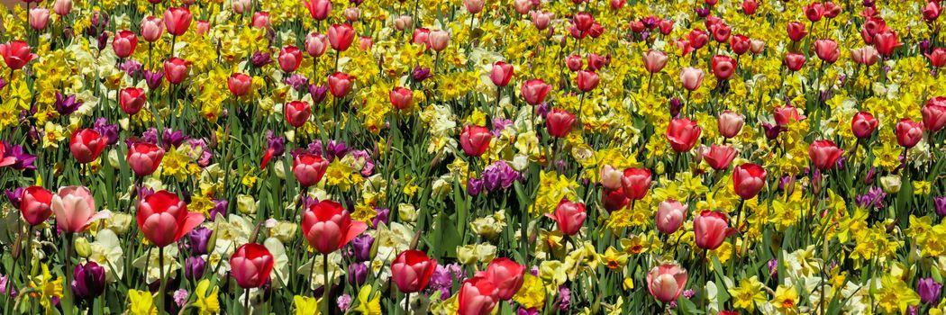 Фото бесплатно нарциссы, цветочный фон, флора