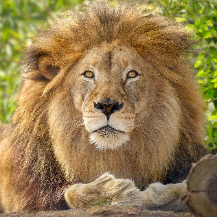 Фото бесплатно лев, хищник, животное, взгляд, портретное фото, животные