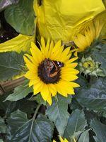 Бесплатные фото подсолнух,бабочка,цветок,рыжих,растение,флора,лист
