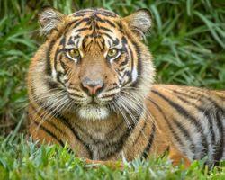 Заставки животное, амурский тигр, портретное фото