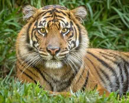 Photo free animal, Amur tiger, portrait photo