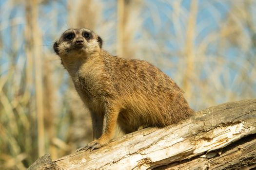 Photo free meerkat, standing, wood