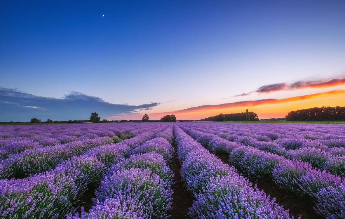Обои поле, лаванда, закат, цветы, флора, пейзаж картинки на телефон