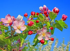 Заставки Яблоневый цвет, яблони, цветение