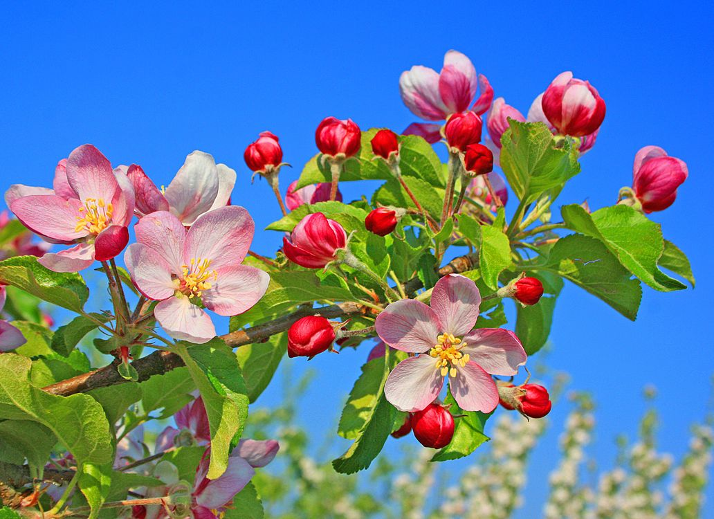 Обои apple blossom, цветущая яблоня, цветы картинки на телефон