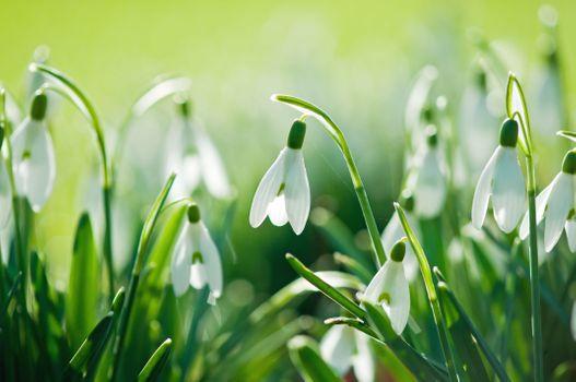 Бесплатные фото Подснежники,лепестки,подснежник,весна,цветок,цвести,зелень,трава,день