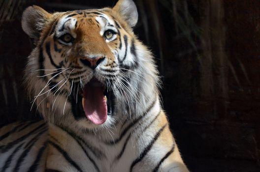 Photo free tiger, yawns, language
