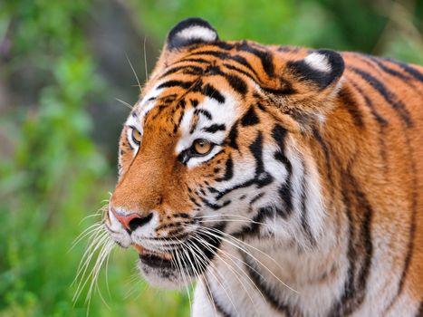 Фото бесплатно большая кошка, тигр, полосатый хищник
