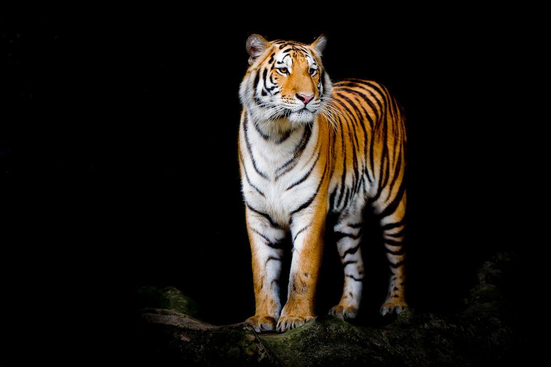 Обои портрет тигра, тигра, семейства кошачьих картинки на телефон