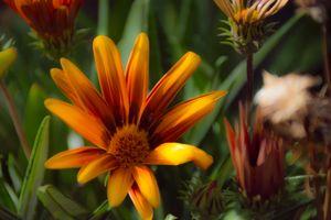 Бесплатные фото цветок,флора,рыжих,растение,дикий цветок,крупным планом,лепесток