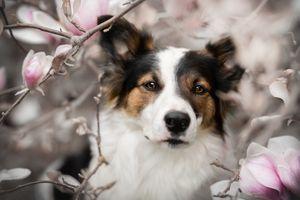 Собака и цветы магнолии · бесплатное фото