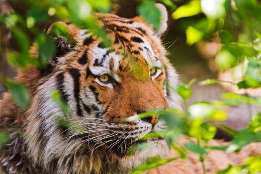 Тигр смотрит из за веток дерева · бесплатное фото
