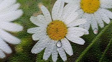 Бесплатные фото ромашки,цветы,капли,фон