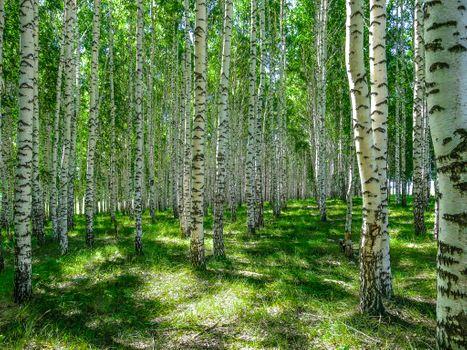 Birch grove in all its glory · free photo