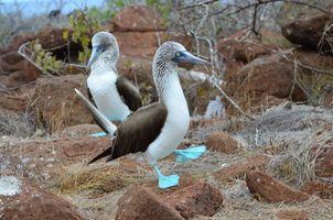 Blue footed piqueros (Galapagos Islands)