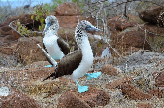 Blue footed piqueros (Galapagos Islands)