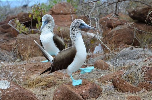 Blue footed piqueros (Galapagos Islands) · бесплатное фото