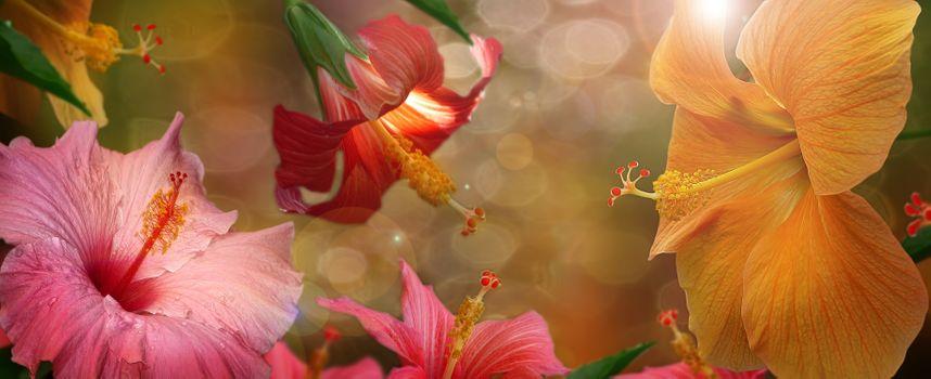 Фото бесплатно гибискус, панорама, цветочная композиция