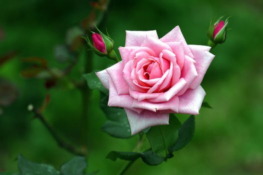 Photo free rose, flower, green background
