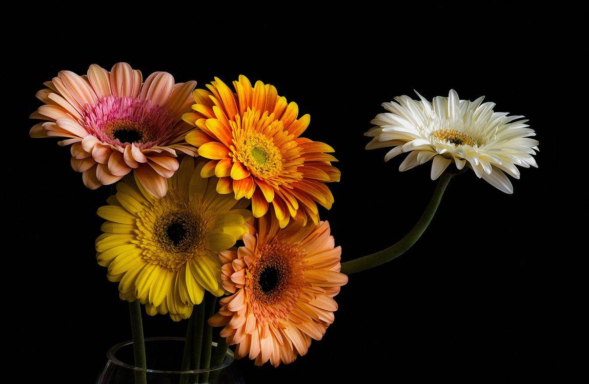 Фото бесплатно Gerbera Daisies, букет, цветы, чёрный фон, флора, цветы