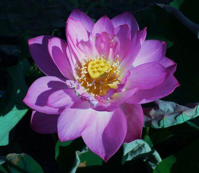 Фото бесплатно Лотос пруд, красивый цветок, вода