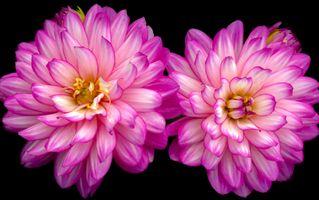 Фото бесплатно георгины, флора, макро