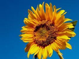 Бесплатные фото поле,цветок,рыжий,подсолнух,природа,сельское хозяйство,пейзаж