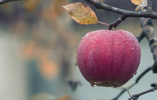 Фото бесплатно яблоко, дерево, плоды